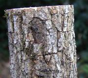 成虫用産卵木